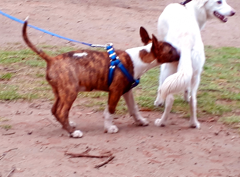 Male dog investigating odor signals from a female dog in heat