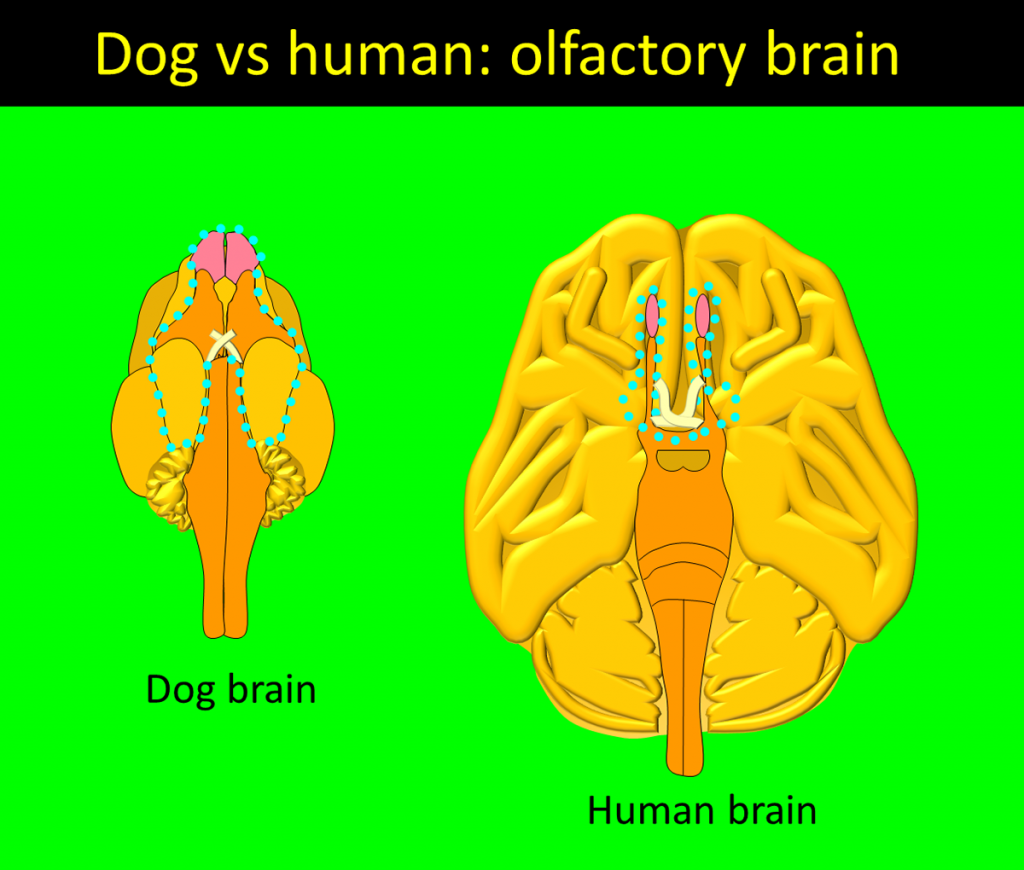 Olfactory dog vs human brain. Lower brain view. Olfactory areas of the dog brain compared in relative size with the human brain