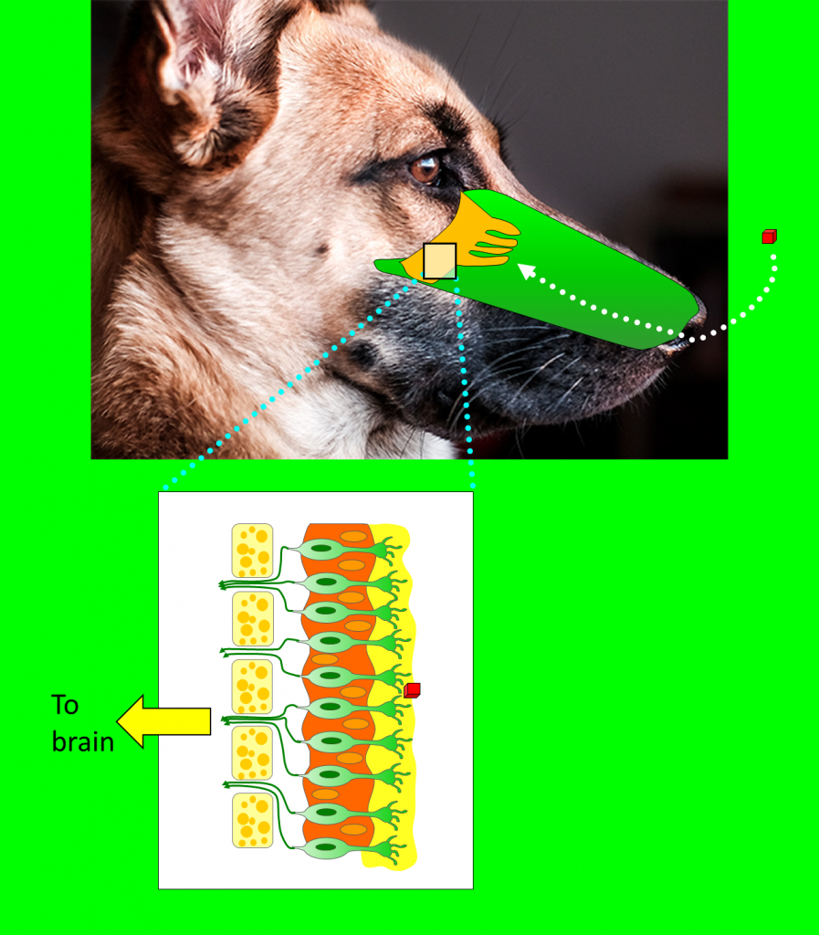 Dogs have a very powerful sense of smell. Among other reasons, this is due to a well-equipped smell sense organ. A specialized olfactory area located in the back of the nose has cells with receptors that get in touch with odorant molecules (represented with the red cube in the image) and produce an electric signal that travels to the brain olfactory area through the olfactory nerve. Dogs have more receptors than humans do (dogs have 20 to 100 receptors per cell while humans have just 6 to 8). Dog model is from a beautiful photograph by Lesly Juarez in Unsplash.com