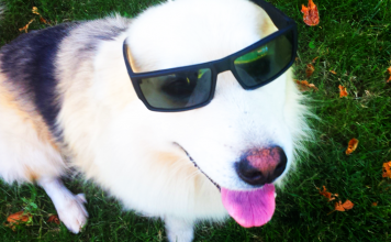 Vision in pets can go wrong due to multiple causes. Dogs or cats can suffer from many eye diseases. Sight can not only be lost by problems related to the eye but also the nerve pathways that connect the eye to the area of the brain specialized in interpreting visual stimuli