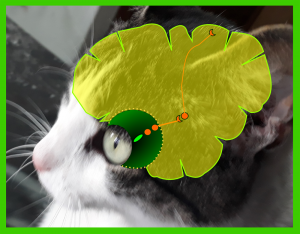 The menace response is coordinated by the cortex or conscious part of the brain and requires intact visual cortex and visual nervous pathways. The visual pathway has four neurons (being flexible and including light receptor cells in the eye, sort of modified neurons). Three of these neurons are in the retina of the eye. The receptors (rods and cones) get excited through the light and transmit a nervous impulse to the second neuron and this passes the message to the third (all three in the retina inside the eye. The third neuron emits axons that collectively form the optic nerve, in which these axons travel and make a relay on the brain stem with the fourth neuron. This fourth neuron will take the information to the visual area of the brain, located at the back of the skull.