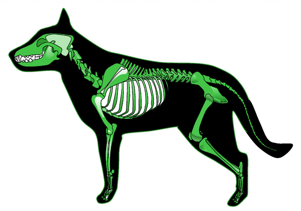 The dog skeleton is the bony part of dogs made for the support and protection of internal organs. Bones are connected through joints and muscles move the bones to produce the normal dog movements.