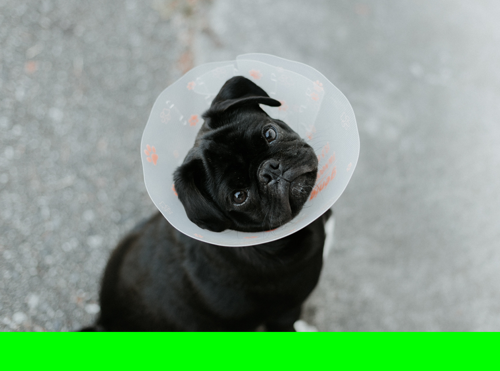 Elizabethan collars keep dogs from biting or scratching wounds that can lead to infection and reopening of the wound