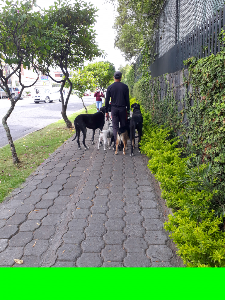 Dogs walking with a dog walker as part of enrichment strategies